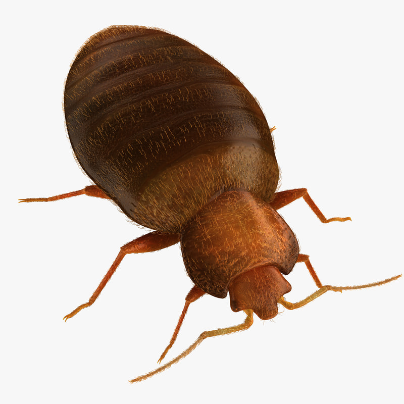 3d model of bed bug