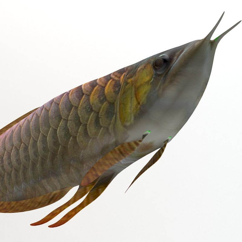 3d arowana fish