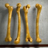 human thigh bone femur c4d