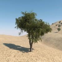 Ghaf Tree 02