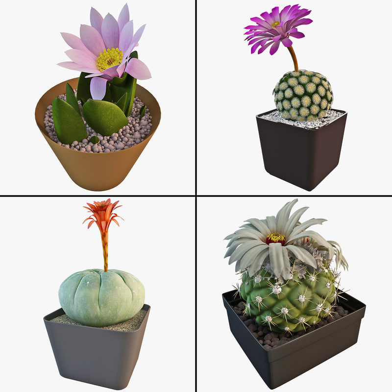 cactus matucana madisoniorum max