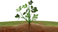 maya groundnut plant