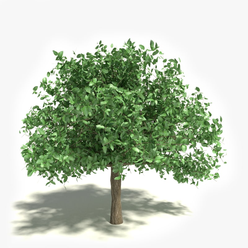 Revit Library Tree: 3d Tree A_tree49 – Jerusalem House