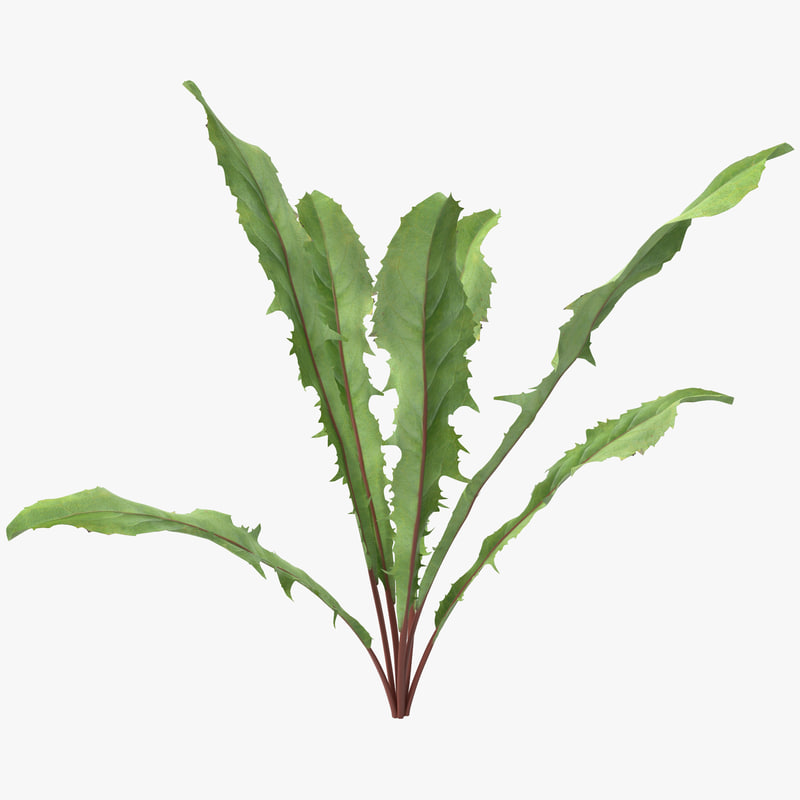 dandelion green plant 3d 3ds