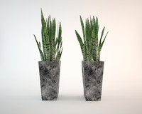 home plant sansevieria max