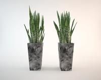 Sansevieria home plant