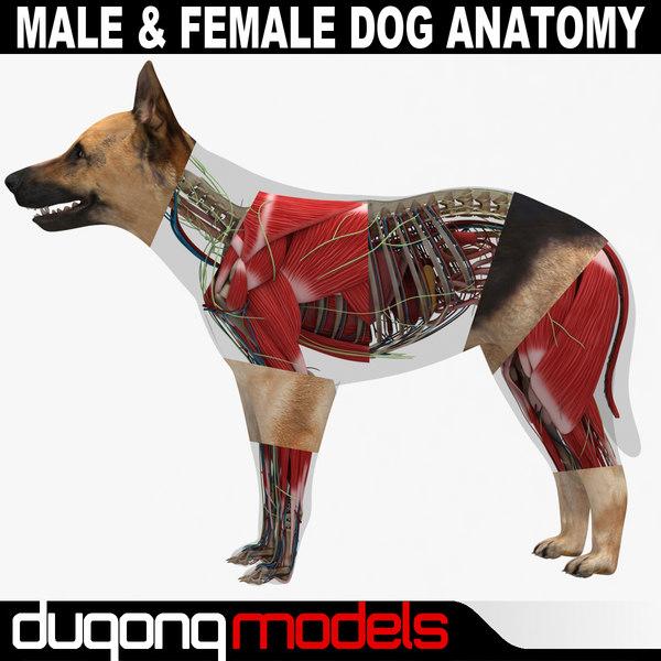 3d model dugm01 dog anatomy male female