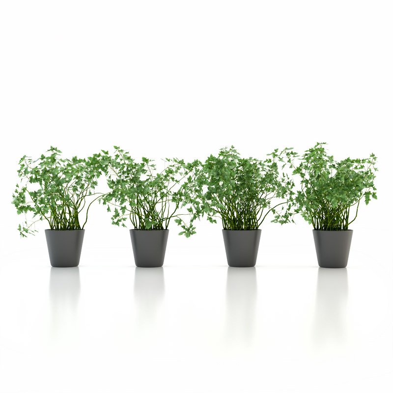 3d parsley pot plant model
