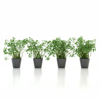 3d parsley pot plant model