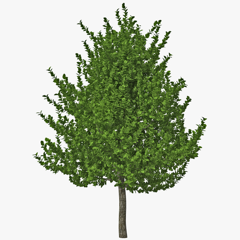 pigeon plum tree 3d model