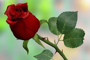 3d c4d red rose