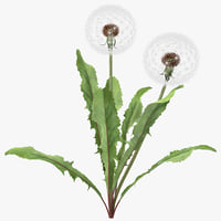 Dandelion Seed Head Plant