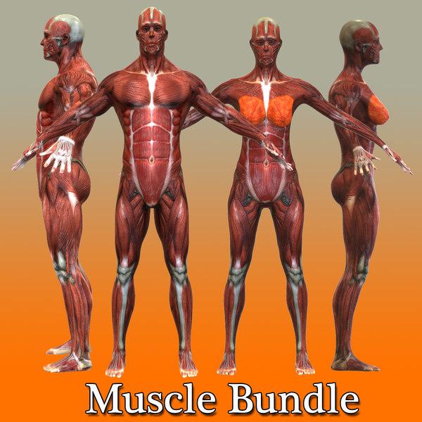 3d human male female muscular model