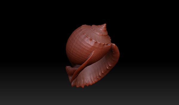 maya phalium bisculatum seashell