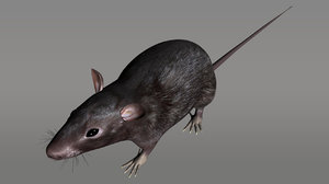 maya rat rodents black