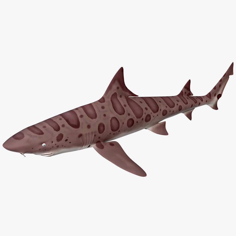 3d model leopard shark