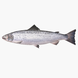 atlantic salmon 3d model
