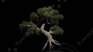 bonsai tree x
