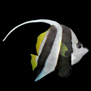 3d pennant coral fish model
