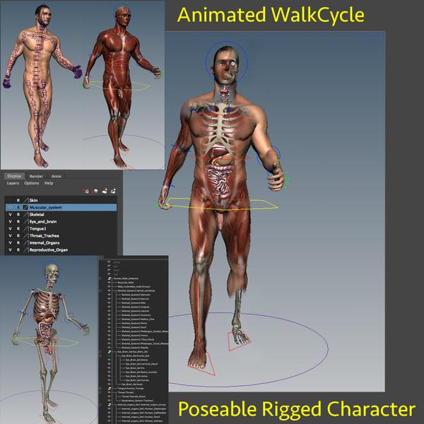3d model anatomy internal rig