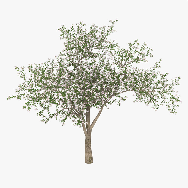 3d flowering apple tree model