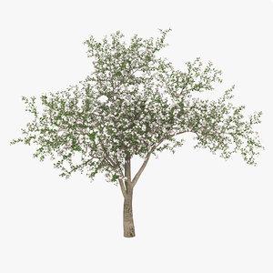 3d flowering apple tree model