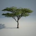 Acacia_01