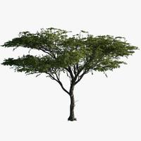 3d model tree acacia plant