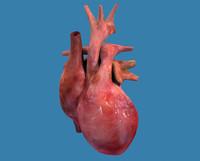 Heart Human Textured