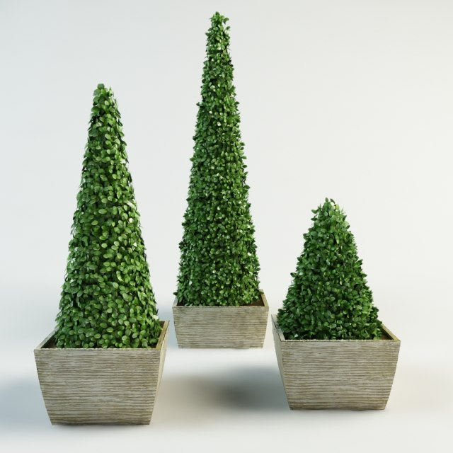 3d pyramidal boxwood