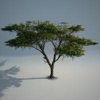 Acacia_02