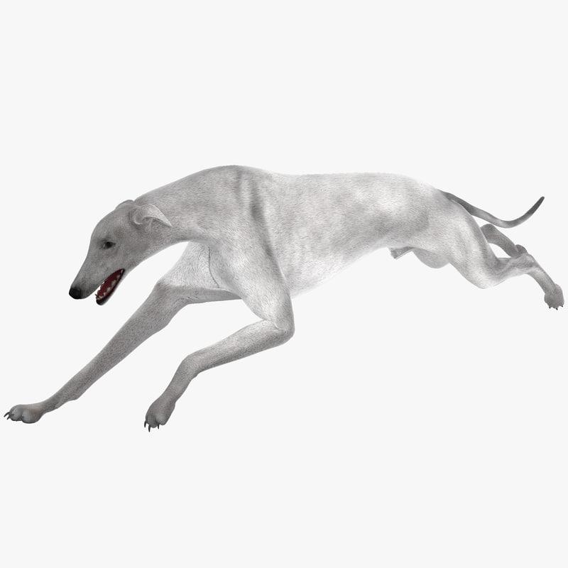 3d model australian greyhound 2 pose