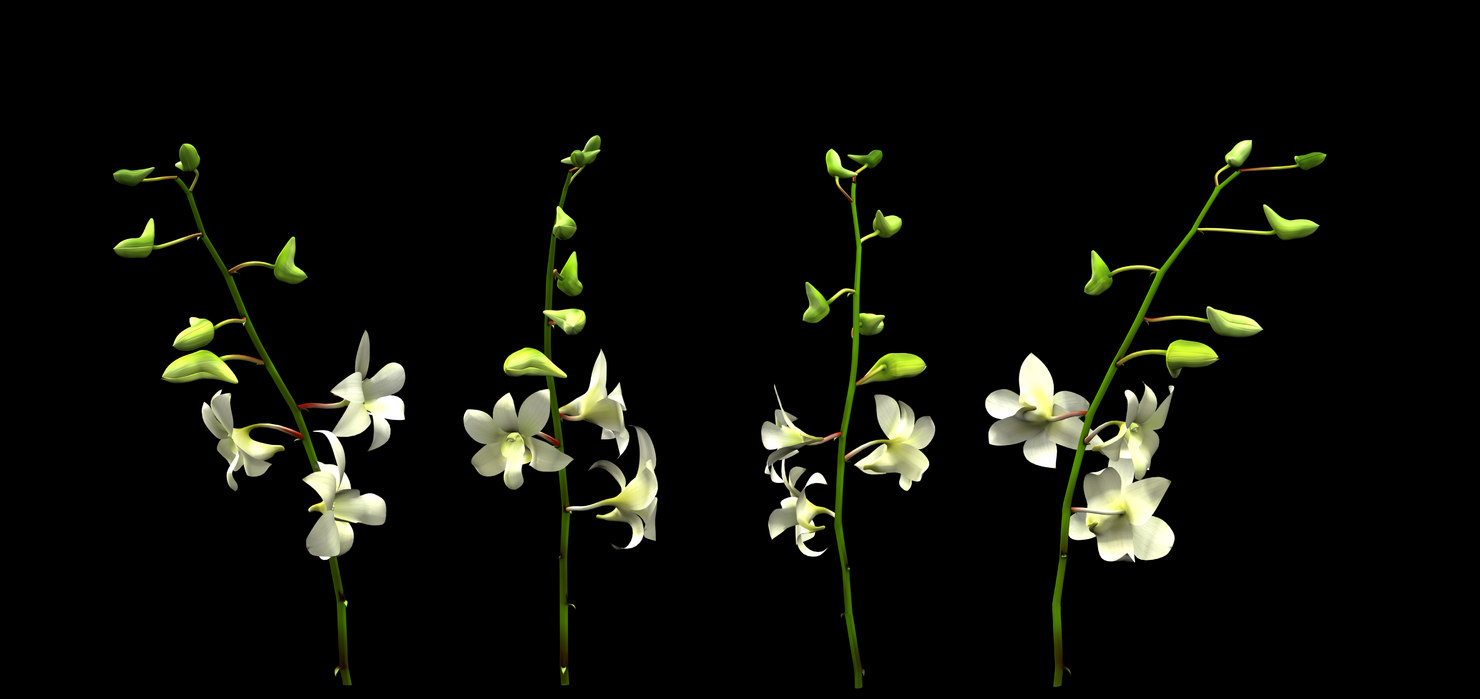 3dsmax orchid flower