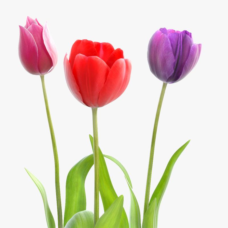 tulip flower max