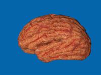 3d model brain