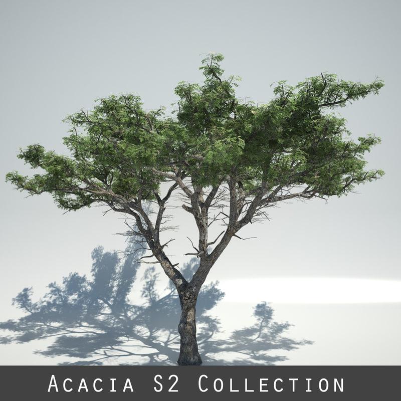 acacia trees max