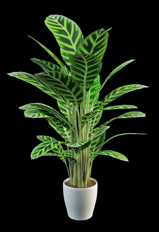3d model prayer plants calathea. Black Bedroom Furniture Sets. Home Design Ideas