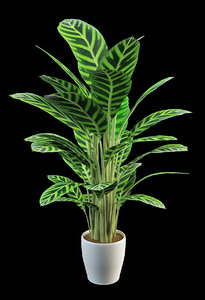 3d model prayer plants calathea