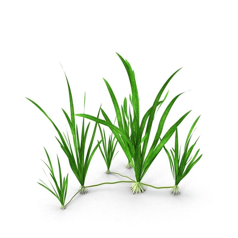 3d model vallisneria plant