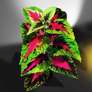 coleus plant flowering 3d obj
