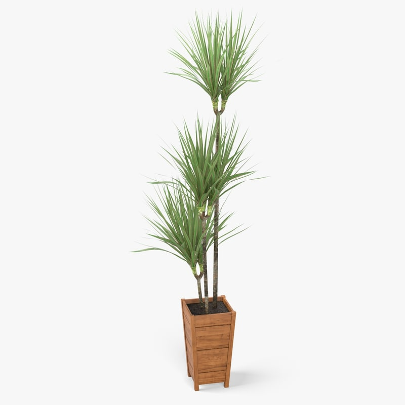 3d model dracaena marginata plant for Dracaena marginata