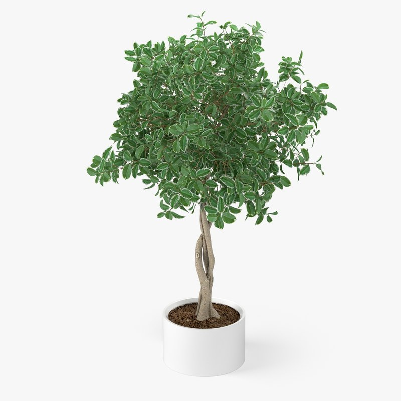 3d model ficus plant