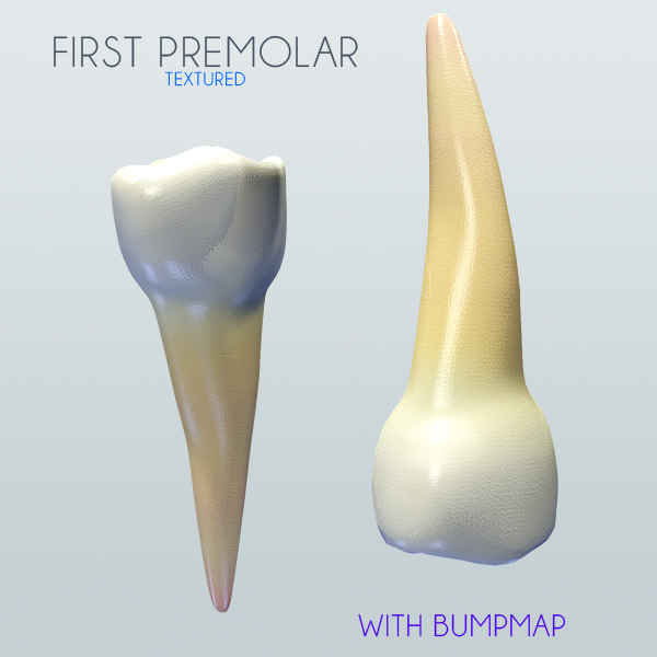 3d premolar human model