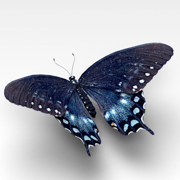 max spicebush swallowtail