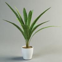 musa palm