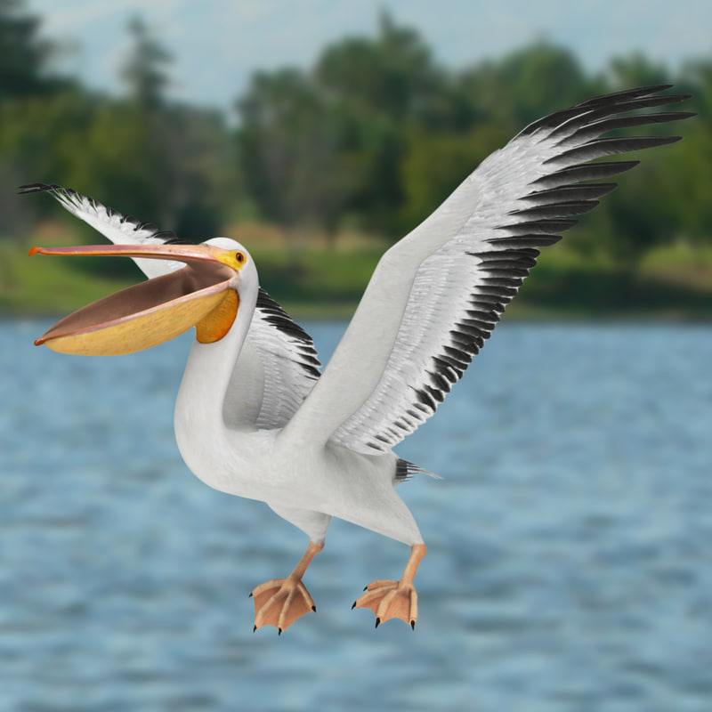 Pelicans Pelecanus Erythrorhynchos: 3d Model Pelecanus Erythrorhynchos American White