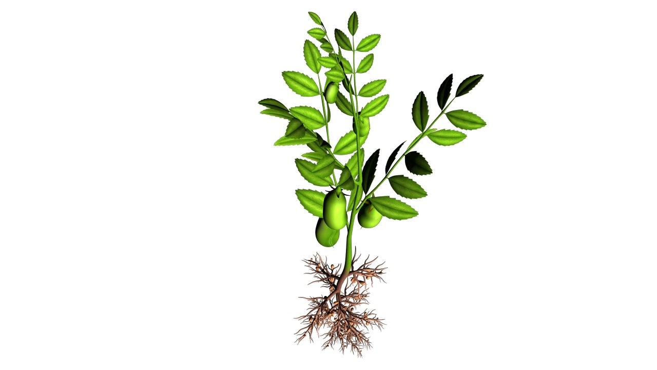 bengal gram plant 3d obj