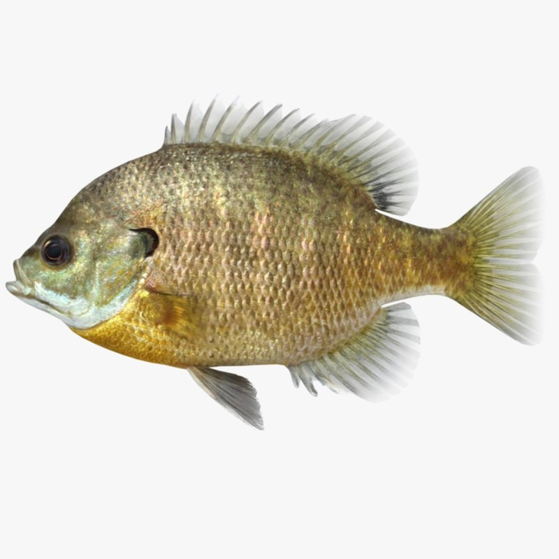 3d bluegill fish lepomis model