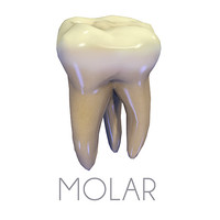 Teeth Second Upper Molars