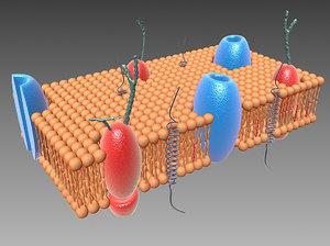 3d model cell membrane